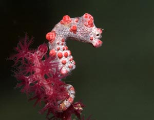 Mabul Muck Diving Pygmy Seahorse