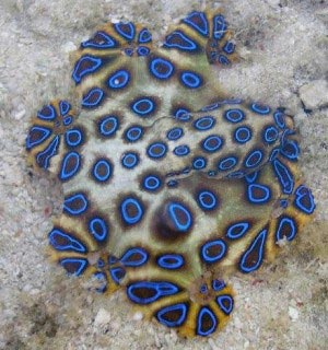 Blue Ring Octopus in Mabul
