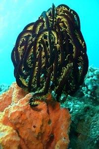 коралловых перьев