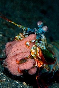 Mantis Shrimp with Eggs in Mabul Island